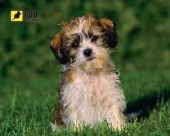 Фото Podmыshku Лохматый щенок
