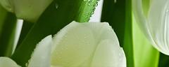 Атем декор Yalta Tulip Maxi 3 W 20x50 (16965)