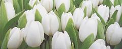 Фото Атем декор Yalta Tulip Mini W 20x50 (16967)