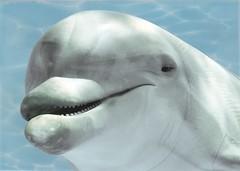БерезаКерамика декор Лазурь Дельфин 1 бирюзовый 25x35