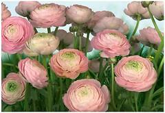 Фото Komar Products Gentle Rose 8-894