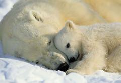 Komar Products NG Polar Bears 1-605