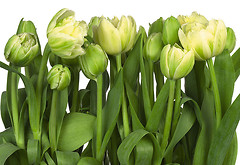 Komar Products Tulips 8-900