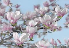 Фото Komar Products Magnolia 8-738