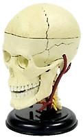 4D Master Череп Анатомия человека (26053)